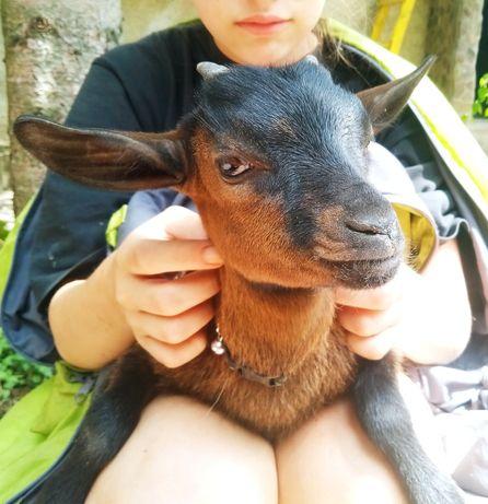 Племенные камерунские козы!Козлик Голландский гном.
