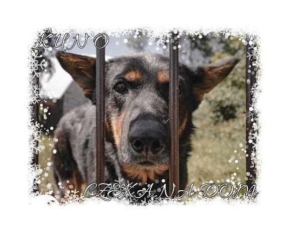 Kuno cudny pies szuka domu