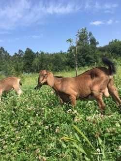 cabras e cabritos de raça anglo nubianos