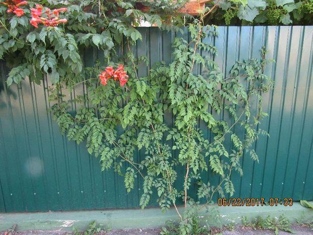 Кампсис лиана отсаженые растения 100% гарантия при пересадке