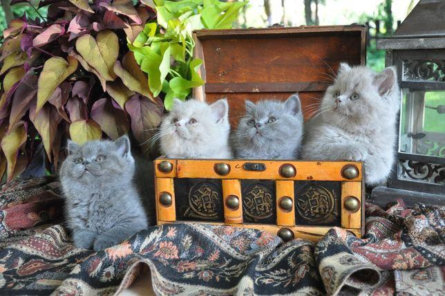 Kocięta Brytyjskie - po Grand Interchampionie - prawdziwy rodowód.