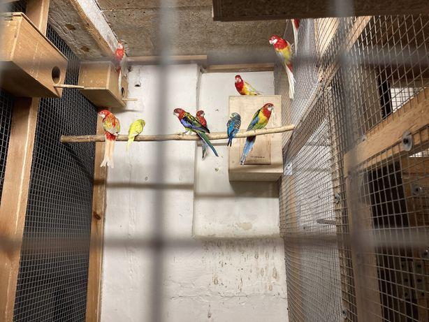 Papugi nimfy faliste kanarki