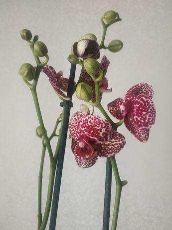 Орхидея Дикий кот Wild cat