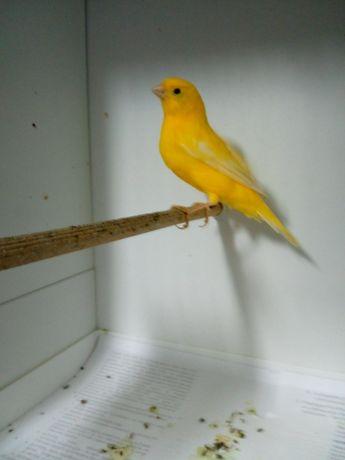 Kanarek samczyk koroniaka gładki