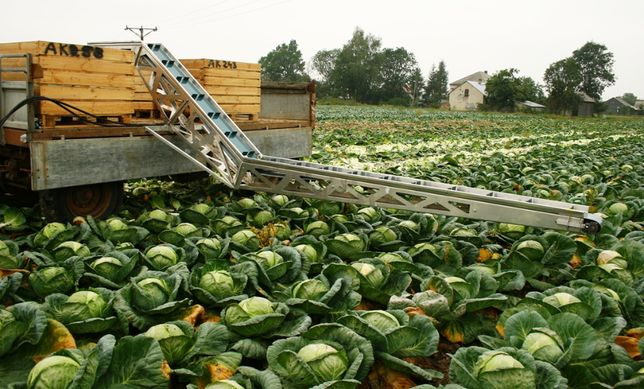 Przenośnik do zbioru warzyw z pola, kapusta, aluminiowy