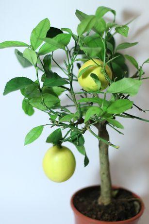 Продам комнатный лимон с плодами