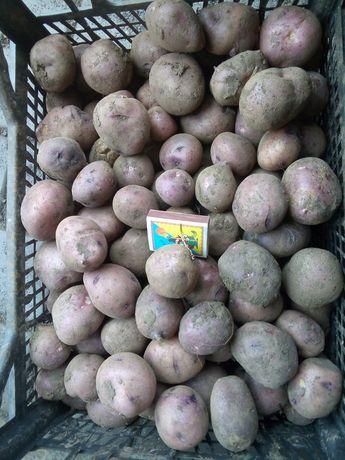 Картошка Чорный принц