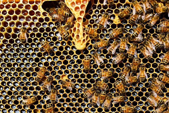 Продам бджоли (бджолосім'ї)