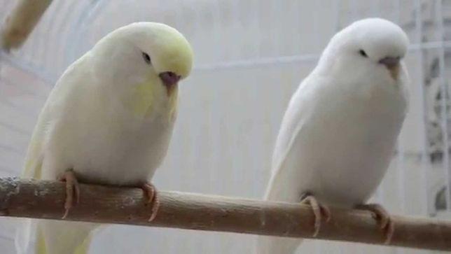 Белый Волнистый папугайчик