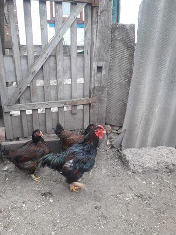 Кури индийский корниш (циплята, яйцо)