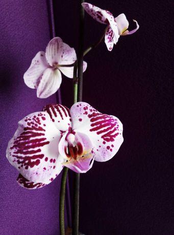 Сильные домашние орхидеи