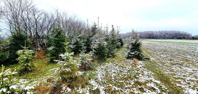 Choinki Bożonarodzeniowe drzewka świerk pospolity kłujący