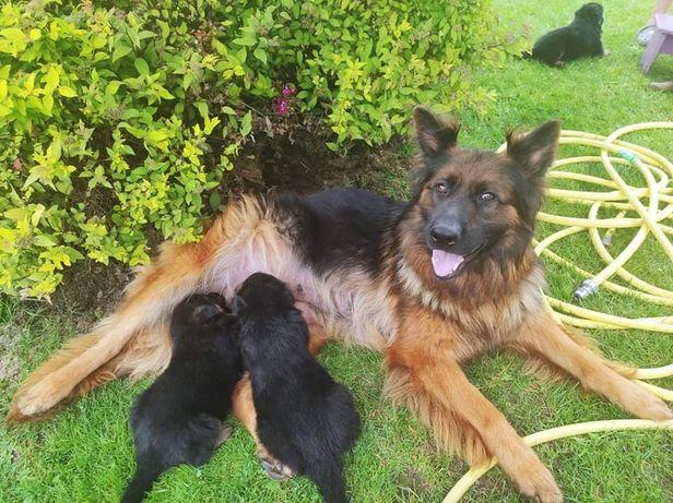 Pieski i suczka owczarek niemiecki