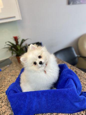 Pomeranian szpic miniaturowy FCI