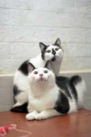 отдам кота кошка, яркая пароочка, 1 год, стерилизованы