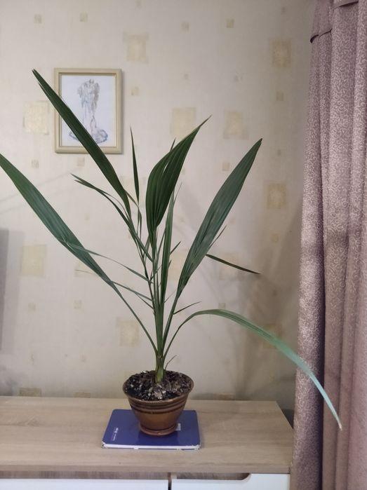 Пальма финиковая,90 см Киев - изображение 1
