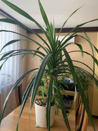 Продается пальма Панданус