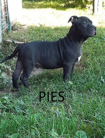 American Staffordshire Terrier-Amstaff- PIESKI I SUCZKA