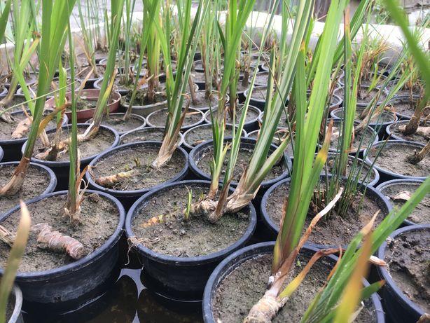 Прудовые растения, растения для пруда