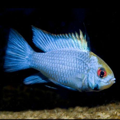 Peixe Ramirezi Eletric Brilho Azul