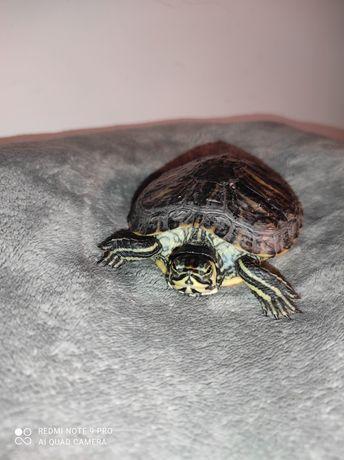 Продам терміново черепаху жовто вуху