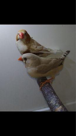 Zeberki, Amadyna Zebrowata, Para lęgowa, ptaki ozdobne, egzotyczne