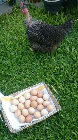 Ovos caseiros de varias raças de galinhas