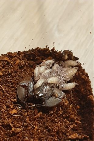 Liocheles australasiae l3 partogeneza
