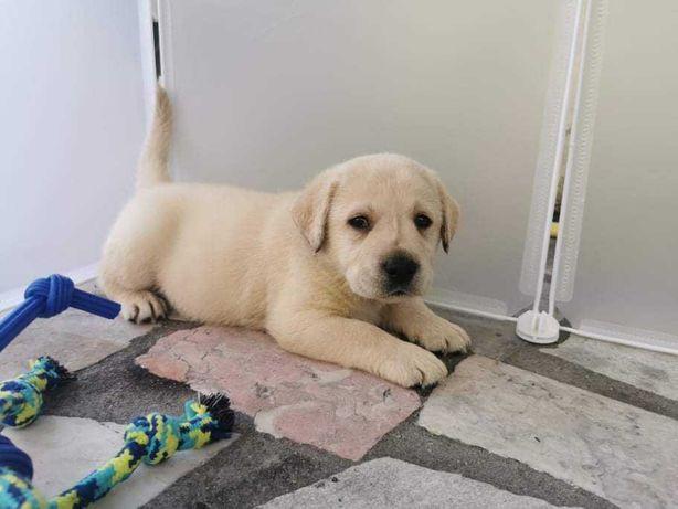 Labrador com lop e testes displasia