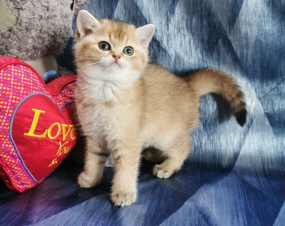 Клубный котик,золотая шиншилла