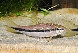 Kosiarka - Crossocheilus siamensis