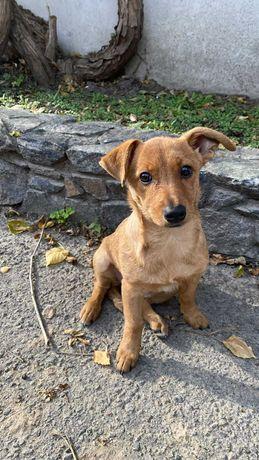 Очень срочно в хорошие ручки отдается щеночек Барби ( 4-5 месяцев)