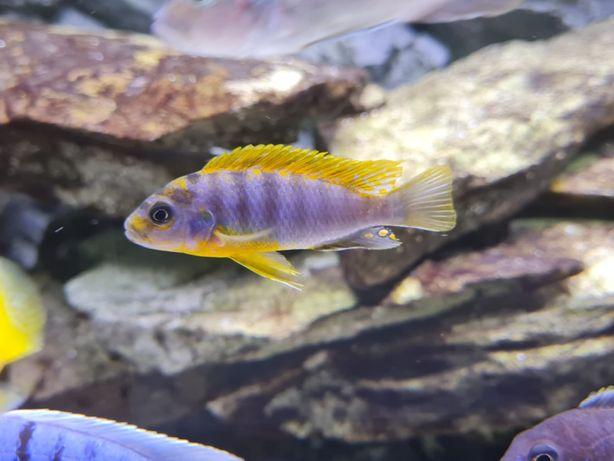 Labidochromis Hongi Super Red młode !!!