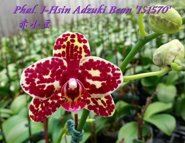 Phal. I-Hsin Adzuki Bean адзуки орхидея орхидеи