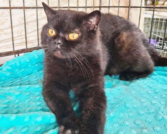 Киця породи скотіш страйт Алекса шукає дім, 1 рік кошка кішка