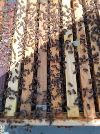 Vendo enxames abelhas