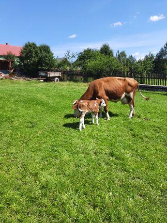 Krowa mleczna simental  z byczkiem