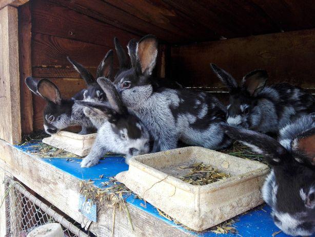 Królik/ króliki Wielki Jasnosrebrzysty (WJS). WYSYŁKA!