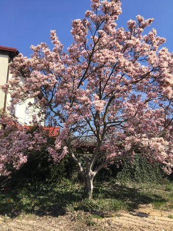 Magnolia Pełnioletnia magnolia do sprzedaży .