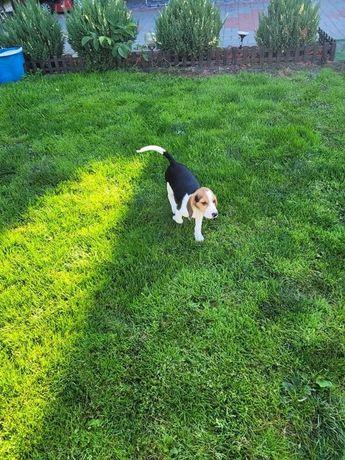 Piesek Beagle z rodowodem