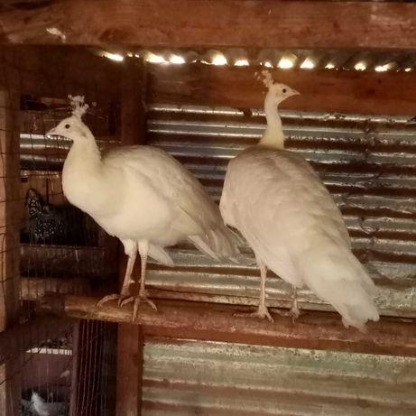 Tenho pavões brancos de 2020 machos mt bonitos e saudáveis