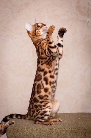 золотые котята