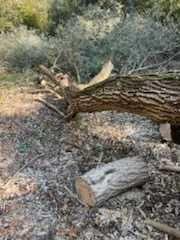 Drzewo-oddam za darmo