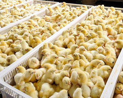 Суточные цыплята бройлеры КОББ-500. Бесплатная доставка