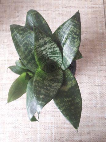Kwiat rozeta Sanseweria trifasciata 'Hahni' niska