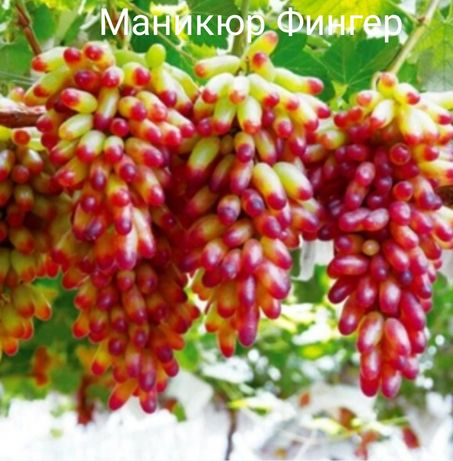 Саженцы элитного винограда! ЛАМБОРДЖИНИ, МАНИКЮР ФИНГЕР, АВАТАР И ДР!!