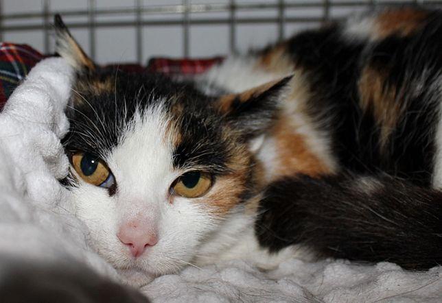 Piękna kotka trikolor do adopcji - Laura czeka na dom
