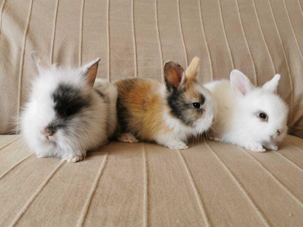 Lindos coelhos anões angorá e minitoy