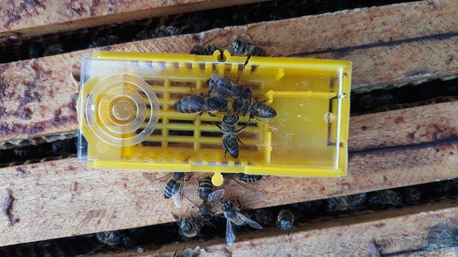Matka pszczela czerwiące, Sklenar, nieznakowana, pszczoły