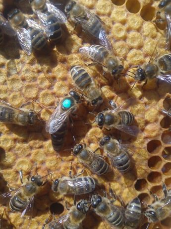 Карника Пчеломатки, Бджоломатки Карніка на 2021р